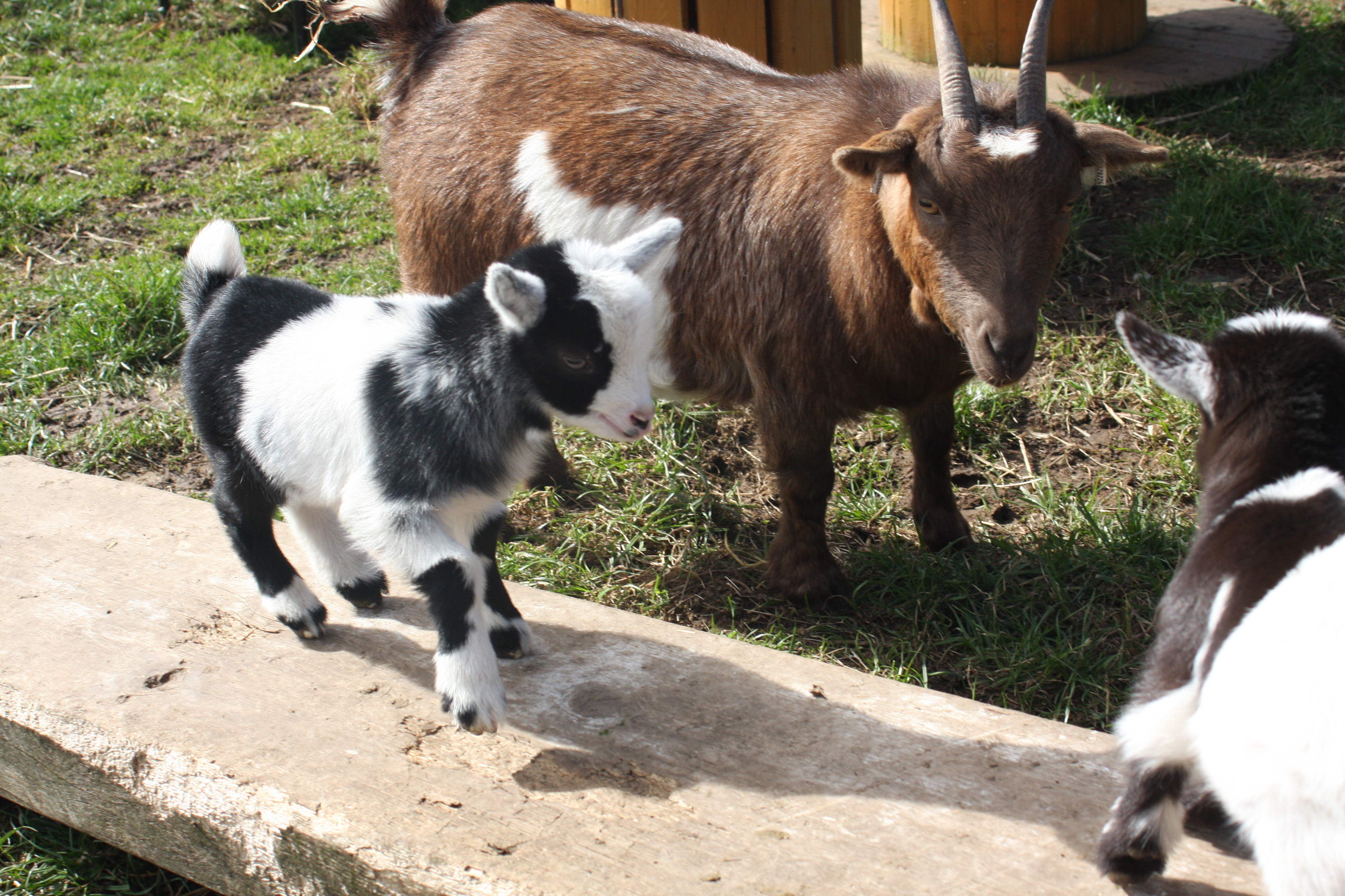 Baby Goats 060_zpsmuugbqlc