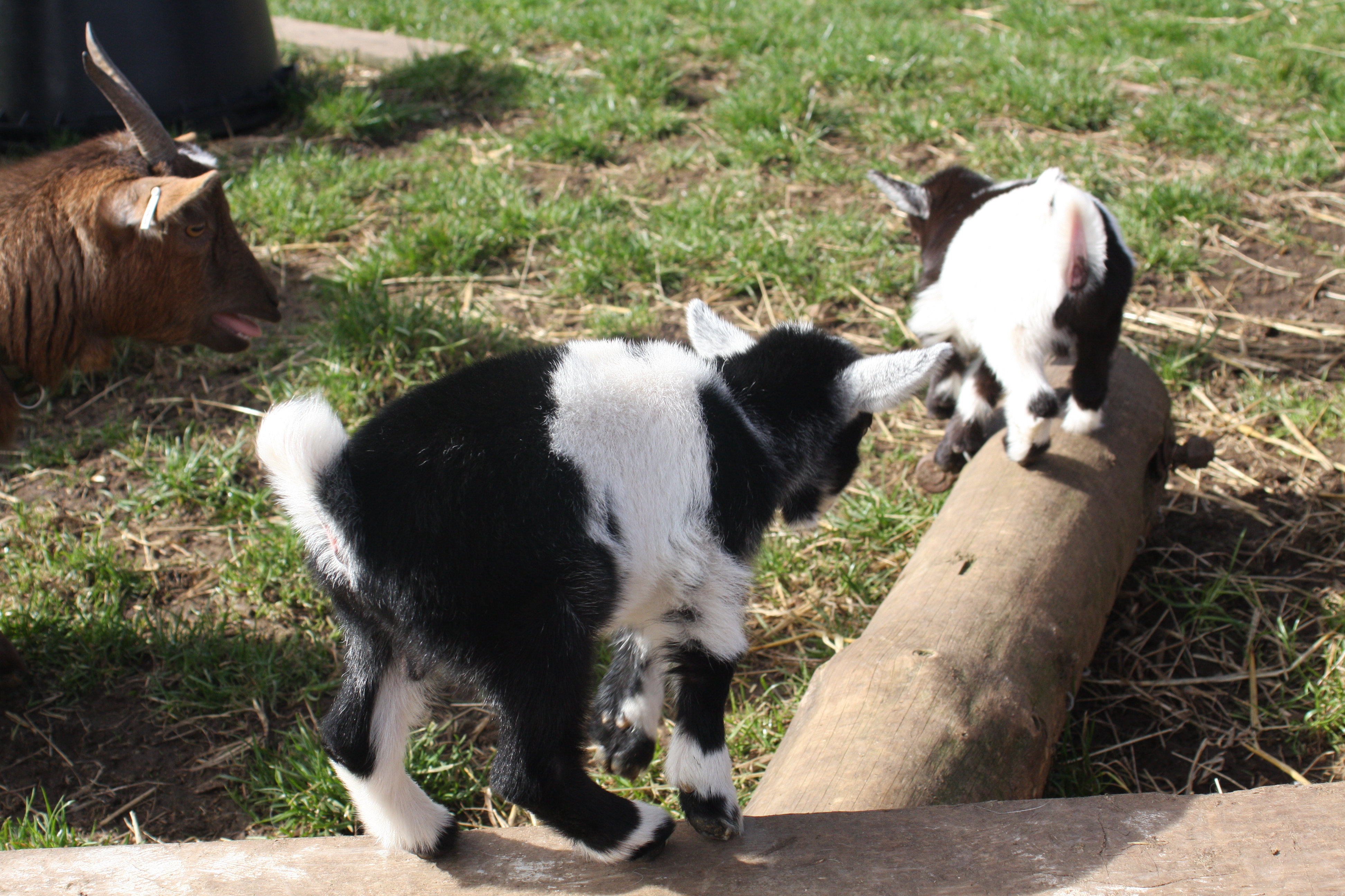 Baby Goats 063_zpsoieqwbnw