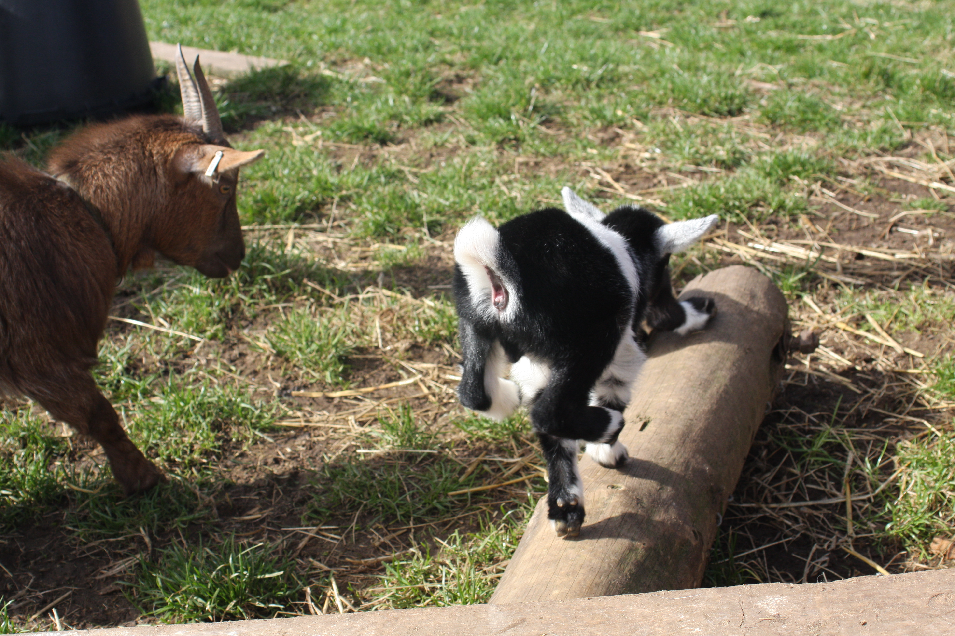 Baby Goats 065_zpsgoy7b8al