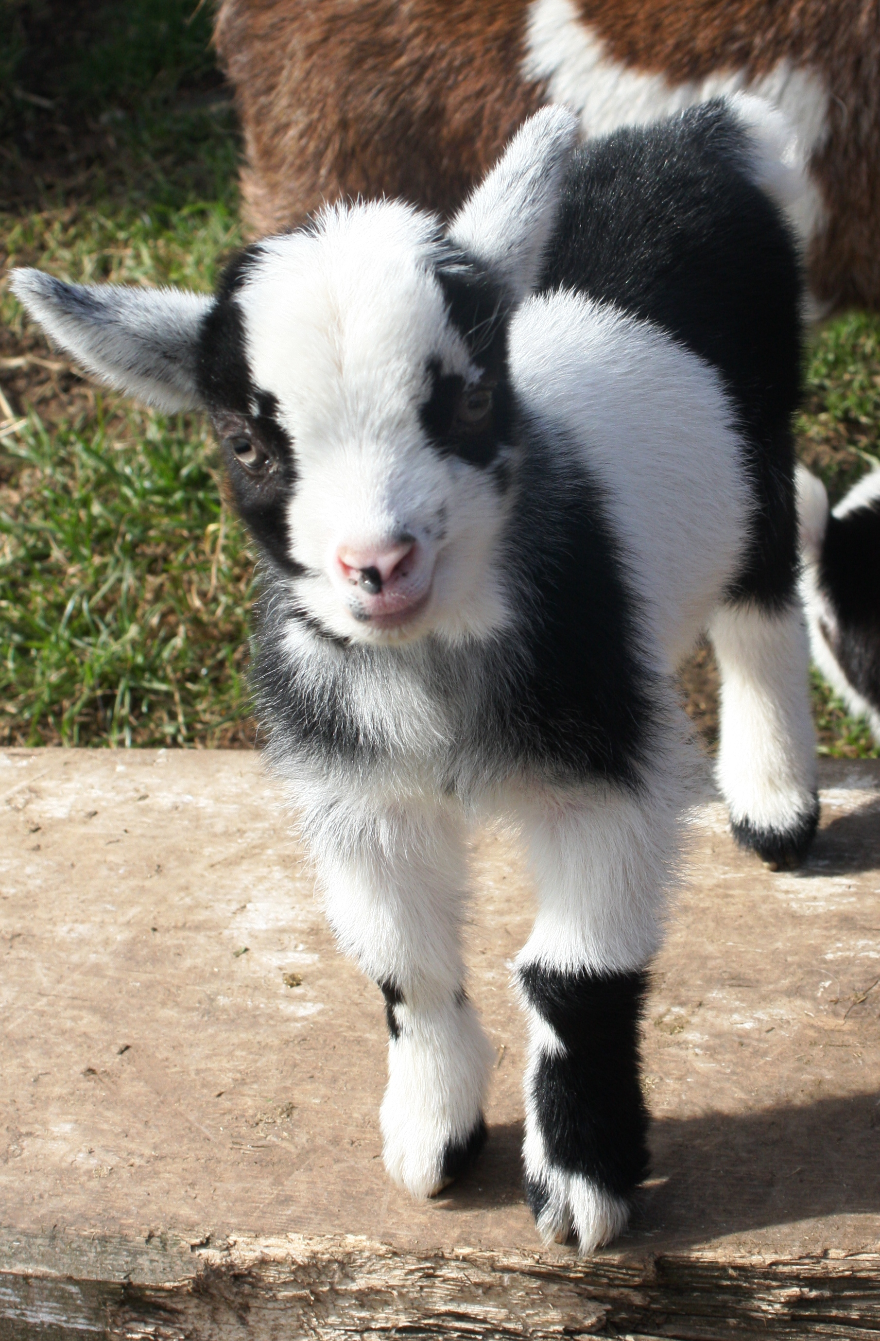 Baby Goats 068_zpsuiyqpywf
