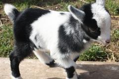 Baby Goats 057_zpsn7mkpkp7