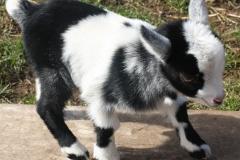 Baby Goats 058_zpsprire5yt