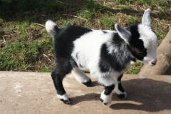 Baby Goats 059_zpsjspwzmjx