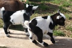 Baby Goats 061_zpsazahsjr6