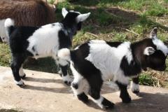 Baby Goats 062_zpszh7b7qvn