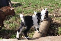 Baby Goats 064_zps4bsre2kx