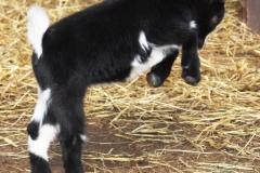 Baby Goats 087_zpsoludeobp