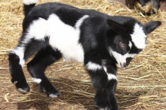 Baby Goats 123_zpssw1zreot