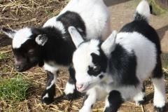 Baby Goats 152_zps86cbqbwa