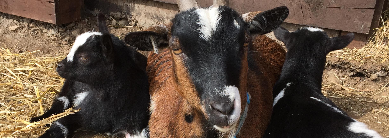 Goat Info | Craigie Pygmy Goats